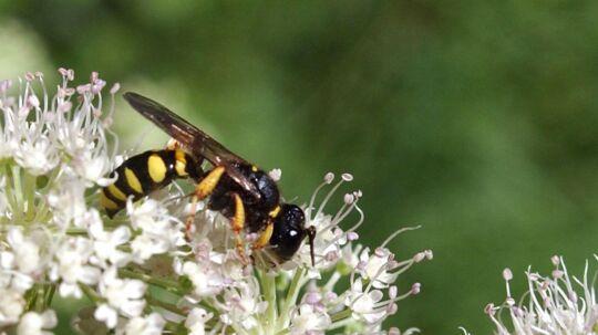 Sommer betyder hvepse, men du kan faktisk mindske irritationen ved insekterne en smule med et par simple tricks.