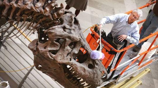 Geologen Bill Simpson gør Sue rent. Det er en 67 millioner år gammel Tyrannosaurus Rex, der er udstillet på Field Museum i Chicago, Illinois. Det er den største og mest komplette og bedst preserverede T. Rex, der er blevet fundet.