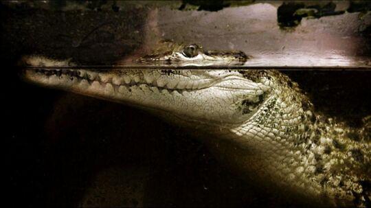 En mini-krokodille, der har undsluppet sit hjem i Gudhje, er på fri fod på andet døgn. Arkivfoto: Scanpix