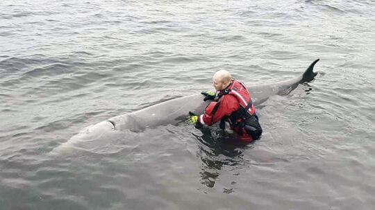 En hval svømte for nær strandsonen på Vindenes på Sotra lørdag ettermiddag. Der satte den seg fast og måtte ha hjelp av brannvesent for å komme løs. Foto: Sotra brannvesen / NTB scanpix
