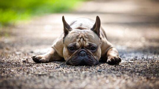 Rapperen Schoolboy Q mistede sin hund, en fransk bulldog, på en flyvetur fra Missouri til Burbank i Californien.