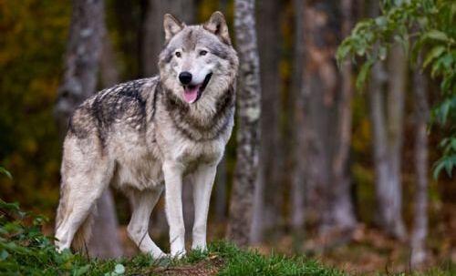 Fem lam er fundet dræbt i Hamar i det sydlige Norge, og vildtnævn bekræfter, at den skyldige er en ulv. Free/Colourbox/arkiv