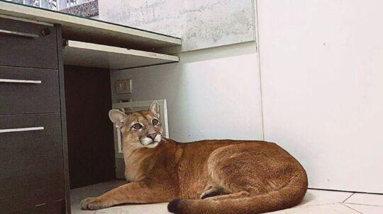 Efter den blev reddet, blev pumaen overgivet til en organisation, der specialiserer sig i vilde dyr.