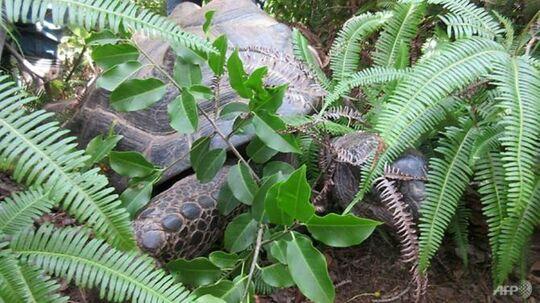 Den 35-årige gigant-skildpadde Abuh blev fundet kun 140 meter fra den zoologiske have.