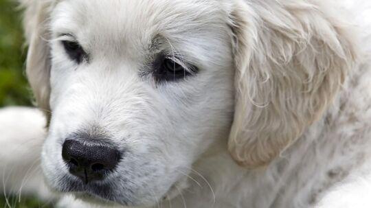 Kan det betale sig at tegne en hundesygeforsikring? Præmie-betalingen kan i løbet af et hundeliv hurtigt løbe op i omkring 28.000 kroner.