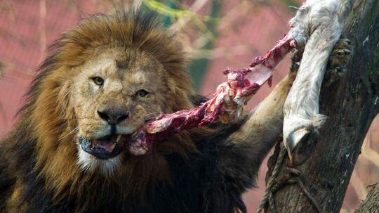 For løver som Mufassa fra Zoo Stralsund i Tyskland, der her nyder en luns hest, er hestekød en del af den normale kost.