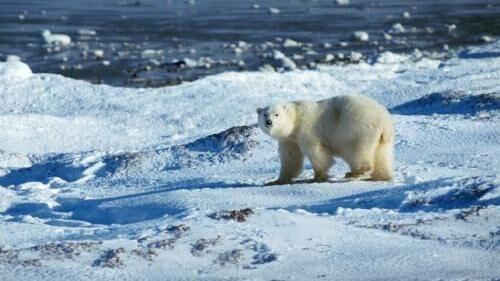 En video af en sultende isbjørn (ej afbilledet) går verden rundt. Free/Colourbox