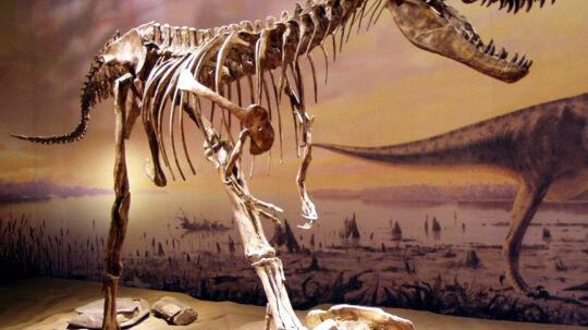 Helt skelet af en Gorgosaurus.