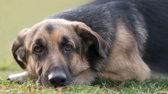 Fremover skal hundeejere selv have poser med til deres hundes efterladenskaber i Københavns Kommune.
