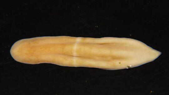 Opdagelsen af den numseløse orm Xenoturbella japonica kan måske gøre os klogere på, hvordan mere komplekse dyr udviklede sig. Foto: University of Tsukuba