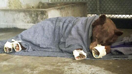 Denne bjørn modtog behandling efter at have brændt sine poter under en skovbrænd i den amerikanske delstat Californien.