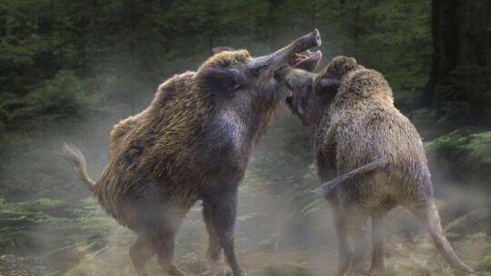 Et gigant-vildsvin er blevet spottet i Kina. (Ikke det på billedet.)