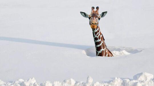 Billedet af en giraf i sneen, der har fået stor udbredelse på sociale medier, er photoshoppet af fotografen Jens Stolt.