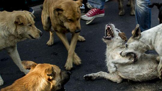 Gadehunde kan bære flere sygdomme, der kan være alvorlige for mennesker, hvis de bliver smittet.
