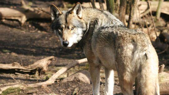 (ARKIV). Debatten om ulve i den danske natur får nu Socialdemokratiet og Dansk Folkeparti til at kræve de vilde ulve indhegnet eller sendt til udlandet. Miljøministeren er åben for ideen. Det skriver Ritzau, fredag den 20. april 2018.. (Foto: Brian Bergmann/Ritzau Scanpix)