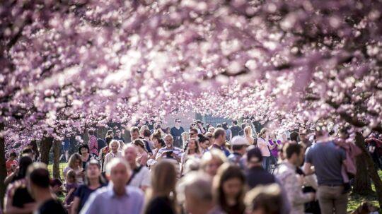 De japanske kirsebærtræer på Bispebjerg Kirkegård i København er et stort tilløbsstykke.