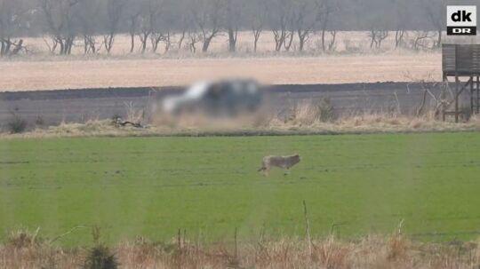 Her ses ulven på video få sekunder inden den nedskydes fra bilen i baggrunden.