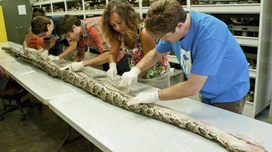 Her bliver den største pyton fundet i Florida nogensinde, undersøgt at forskerne.