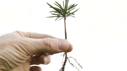 Hvad ville du sige til et arbejde hvor du før 3 øre for hvert af disse små juletræer du planter ud? Arkivfoto