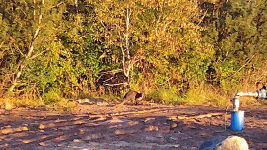 Tonny Svendsen nåede at tage dette billede af kænguruen med sin mobil.