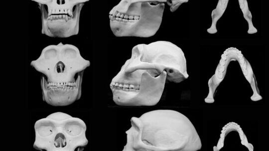 Her ses en rekonstruktion af et chimpanse kranium samt fire kranier fra menneskets forfædre. Øverst ses Pan troglodytes, i anden række Australopithecus afarensis, i tredje række: Paranthropus boisei. Anden nederst homo erectus og nederst Homo sapients. To forskere fra University of Utah har mandag foreslået, at menneskets ansigt udviklede sig sådan, at sandsynligheder for skader ville blive mindre, hvis der opstod slåskamp mellem to mennesker.