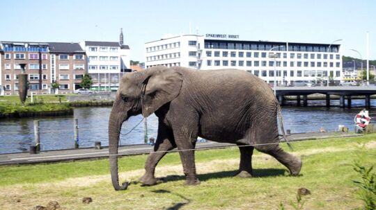 Arkivfoto: En elefant fra Cirkus Dannebrog.