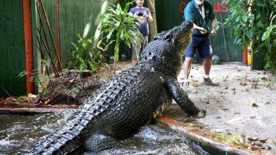5,48 meter - cirka en halv meter længere end en Audi A6. Så lang er verdens største krokodille i fangenskab. Hans navn er Cassius og han lever i dyreparken Marineland Melanesia i Australien.