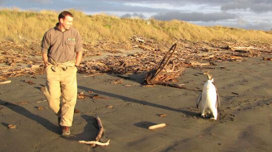 """En lille kejserpingvin er blevet verdensberømt, efter den svømmede 3.200 kilometer forkert og forvildede sig fra Antarktis til New Zealand. Den lille pingvin bliver kaldt """"Happy Feet"""" og bor nu i Welllington Zoo, hvor den er kommet til udpumpning, efter den spiste sand, som den troede var sne."""