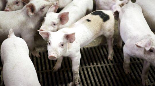 Der skal slagtes flere svin på Bornholm de næste fem år