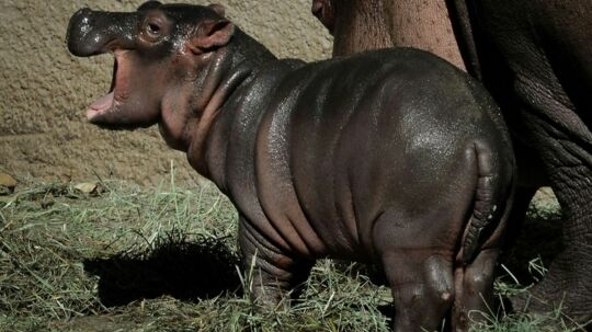 Los Angeles Zoo er blevet en beboer rigere - og familieforøgelsen kom som en overraskelse. Flodhestehunnen Mara har nemlig i flere år været på p-piller og alligevel fødte hun for en uge siden en nuttet lille unge. P-pillerne er nødvendige, fordi den zoologiske have ikke har plads til at lade dyrene avle, men alligevel lykkedes det for Mara at blive gravid.Dyrepasserne havde godt bemærket, at Mara tog en del på i vægt og mistænkte en graviditet, men kunne ikke teste Mara, som fik veer sidste fredag.Fødslen tog 2,5 time. Den lille kalv er sund og rask - og en rigtig lille charmetrold.