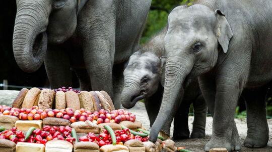 Den lille elefantunge Nhi Linh fyldte søndag et år. Det blev fejret på hendes hjemmebane i Rotterdam Blijdorp Zoo i Holland.  Og hvad er en fødselsdag uden lagkage? Ikke en rigtig fødselsdag! Derfor fik elefanterne serveret en stor og elefant-venlig 'lagkage' med masser af frugt, grønt og brød.