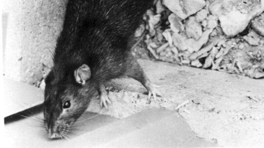"""Ender du i kælderetagen må """"du måske skal tage kampen op med et par rotter"""", lyder det fra Mortierbrigade."""