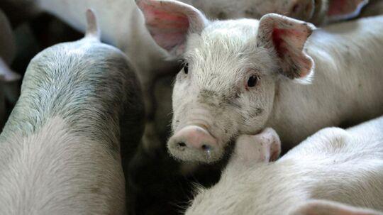 De, ifølge Danish Crown, specielle forhold for slagteridrift på Bornholm får nu selskabet til at lukke slagteriet