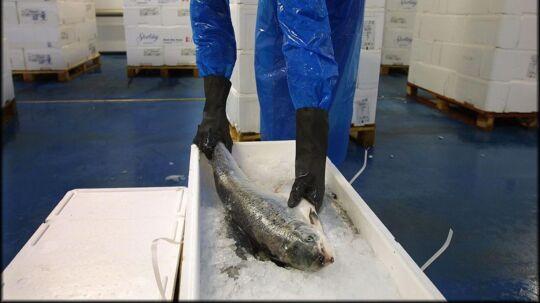 Russerne behøver ikke at undvære norsk laks, selv om den russiske regering har forbudt import af fersk fisk fra EU og Norge.