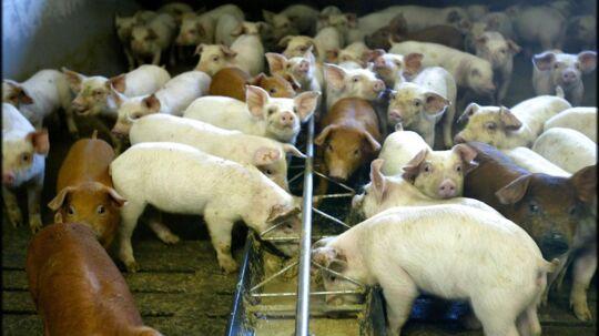 I det kriseramte Ukraine er svinekød en stor mangelvare og priserne høje. I den danske statslige investeringsfond, IFU, ser direktør Lisbeth Erlands et stort potentiale for investeringer i landbrugsproduktion i Ukraine. ARKIVFOTO