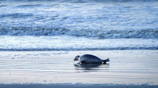 En sæl nyder stilheden uden for turistsæsonen på Blåvand Strand. Det er ofte muligt at se sæler i området.