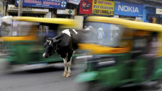 Hellig ko - her i den indiske morgentrafik. Foto:Abhishek N. Chinnappa/Reuters