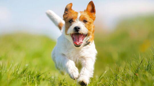 Jack Russell Terrier. (Har ikke noget med artiklens indhold at gøre.)