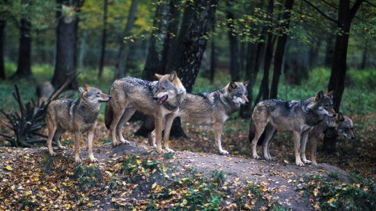 Ulvene trives så godt i de polske skove, at de vandrer til Tyskland - og derfra til Danmark. Næsten alt ulve-dna i Danmark peger mod ulvestammer i Polen eller Baltikum. Foto: Henrik Vering