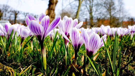 Lørdag d. 2. april 2011 kom foråret endelig, med sol og temperaturer på 20 grader. Her krokus i kongens have.