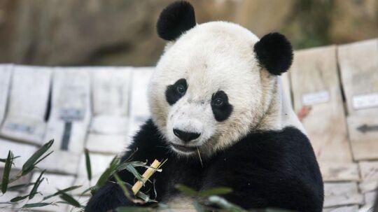 Forskere har ifølge Fox News længe været i tvivl om, hvorfor pandaen har sorte og hvide pletter.
