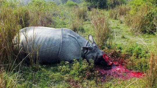 Indisk næsehorn dræbt og afhornet af krybskytter.