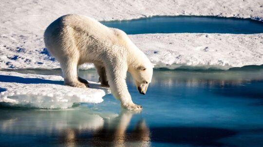 RB PLUS Isbjørne trues af isfrit hav ved Nordpolen- - ARKIVFOTO 2015 af isbjørn i Nordgrønland- - Se RB 7/3 2017 08.05.Hvis ikke det lykkes at holde stigningen i den globale opvarmning nede på 1, 5 grader, så vil Ishavet med stor sandsynlighed smelte om sommeren, siger forskere.. (Foto: MARIO HOPPMANN/Scanpix 2017)