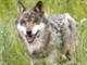 ulvhund