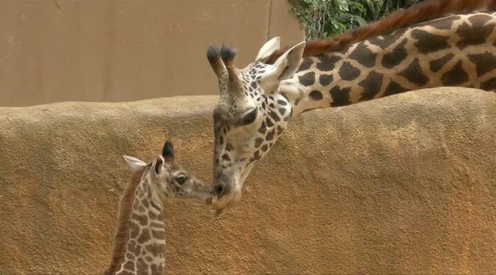 Tidsmæssigt Allerede 2 meter høj: Mød den nuttede baby-giraf | BT Udland - www DU-44