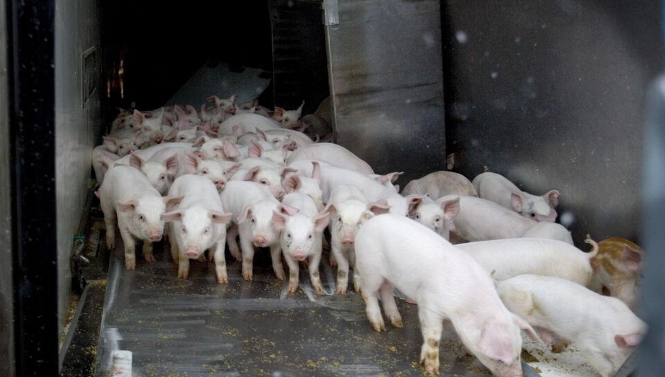 København. Stadigt flere levende danske grise sendes på strabadserende lange