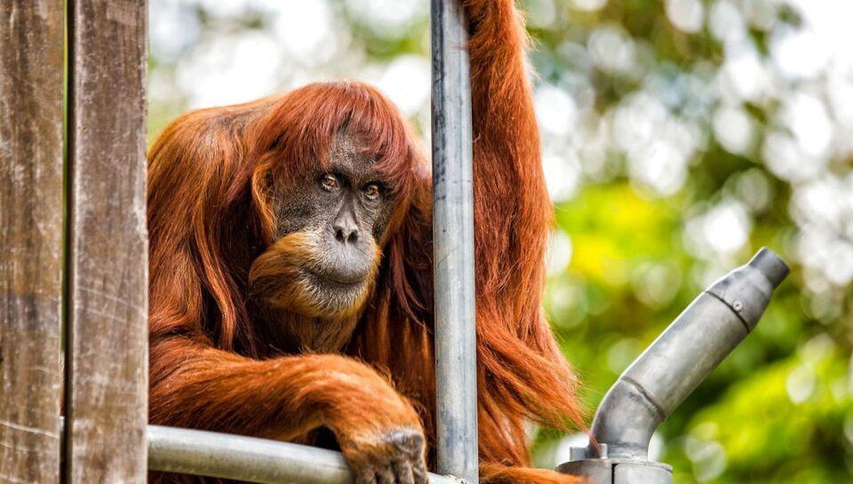 Verdens ældste Sumatra-orangutang, en ældre dame på 62 år, er