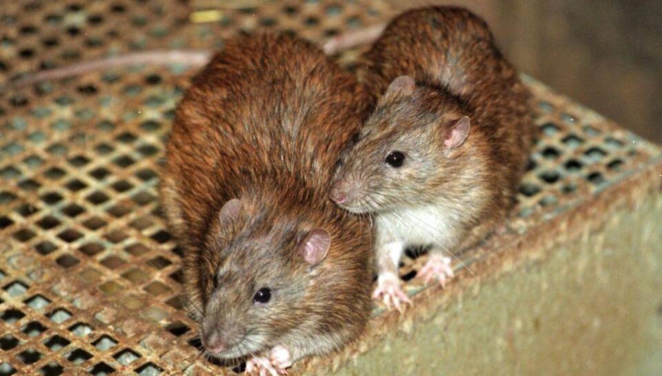 Rotter stimler sammen i Aarhus Kommune